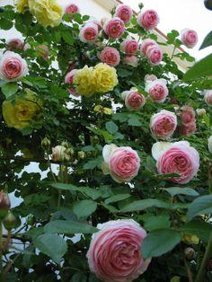 'Pierre de Ronsard ®' rose photo