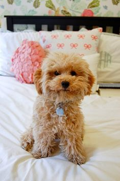 What a Smile ~ Beautiful Poodle Pup ♥ Animals And Pets, Baby Animals, Funny Animals, Cute Animals, I Love Dogs, Cute Dogs, Photo Chat, Getting A Puppy, Tier Fotos