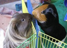 Gimme Gimme Guinea Pigs!