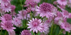 Known as a perennial for the herbaceous border, astrantia grows in damp ground at the edge of woodland in the wild and will do best in similar garden conditions. A moisture-retentive soil is essential for it to grow well. Best Shrubs For Shade, Shade Shrubs, Dry Shade Plants, Cool Plants, Herbaceous Border, East Of Eden, Astrantia, Covered Garden, Border Plants