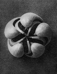"8"" x 10""   50 - Blumenbachia hieronymi (Loasaceae), Blumenbachia, open seed capsule, 8x  Karl Blossfeldt"