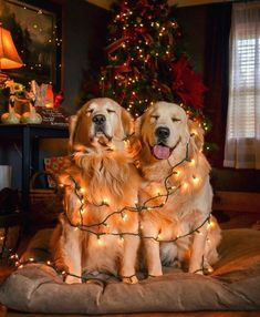 Golden Retriever Puppies Love this! My Golden Retriever would NEVER allow this, but I love her anyway! Animals And Pets, Baby Animals, Funny Animals, Cute Animals, Anime Animals, Animal Memes, Funny Animal Photos, Dog Pictures, Animal Pictures
