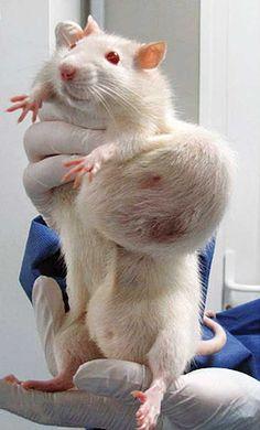Alle reden om GMO-mais, waarmee deze ratten zijn gevoed, te verbieden zou je zeggen..? Monsanto's Roundup-Ready corn caused a host of negative health effects in rats, including tumors and premature death. Photo Courtesy AFP Photo/Criigen