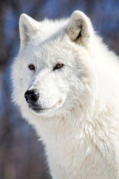 The Arctic wolf (Canis lupus arctos), also called Polar wolf, White wolf or… Arktischer Wolf, Wolf Love, Lone Wolf, Wolf Pup, Beautiful Creatures, Animals Beautiful, Cute Animals, Beautiful Images, Wolf Spirit