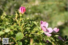 Rosa silvestre - Rosa canina. La rosa silvestre o canina es una planta del orden de los rosales de la familia rosaceae y perteneciente al género rosa.
