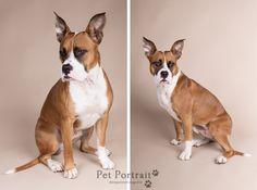 Hondenfotografie Hillegom - Fotoshoot Boxer - Amerikaanse Staffordshire Terrier mix-2