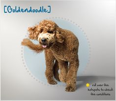 Did you know the creation of the Goldendoodle, a mix between a Golden Retriever and a Poodle, was probably accidental, but it produced such a great result that this mixed breed quickly gained popularity? Read more about this breed by visiting Petplan pet insurance's Condition Checker!
