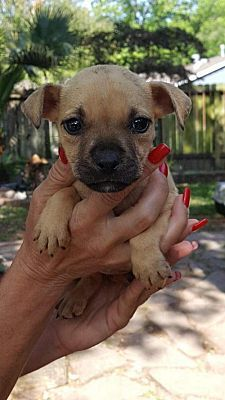 New York Ny Black Mouth Cur Meet Brie A Dog For Adoption Kitten Adoption Dog Adoption Nyc Dogs