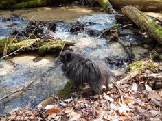 Loki Manistee National Forest Pomeranian
