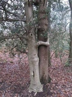 A tree hugger! Weird Trees, Tree People, Magical Tree, Tree Faces, Unique Trees, Old Trees, Nature Tree, Growing Tree, Tree Art