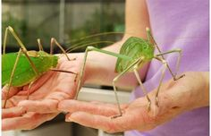 Giant Long-Legged Katydid The giant katydid is the largest species of katydids in the world, growing up to 6 inches long. These gentle giants have a leaf-like appearance and can be found mostly in Malaysia Cool Insects, Bugs And Insects, Weird Insects, Beautiful Bugs, Amazing Nature, Beautiful Creatures, Animals Beautiful, Mantis Religiosa, Cool Bugs