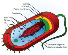 This talks about what a prokaryotic cell is. A Prokaryotic cell is a single celled organizm that can live in pretty much any enviorment; they can live from cold climats, to extrmely hot enviorments like hot springs.Prokaryotes are the oldest form of life, they are also the simplest that just concist of a Capsule, cell wall, plasma membrane, cytoplasm, ribosomes, Nucleoids, and a few more parts.