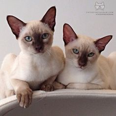 deux chats siamois
