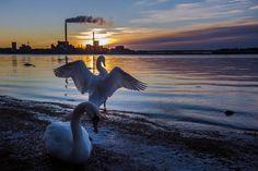 Beautiful swans in Helsinki, couple weeks before Christmas 2016 Hannu Kytö
