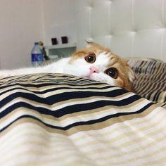 Monday....... . . 월요병 손들어보라옹✋ . .  #igpets #mycat #catpaws #instame #insta #instagram #we_love_cats #bff #catsofworld #貓 #fatcat #catslover #funnycat #garfield #igcat #goodcat #petsagram #kittensofinstagram #고양이 #냥스타그램 #묘스타그램 #스코티쉬폴드 #캣 #캣스타그램 #크리스마스 #소통 #christmas #미묘 #반려묘