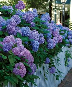 hydrangea  with white picket fence