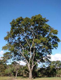 árvores brasileiras - Pesquisa Google