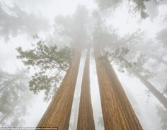 Gorgeous: The majestic plants are considered one of the greatest natural wonders in the U.S.