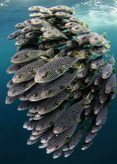 A shoal or school of pufferfish??! I've always just kind of assumed they were loners...
