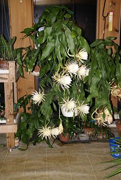 Night Blooming Cereus. A real beauty. Even blooms in Ohio when overwintered inside.