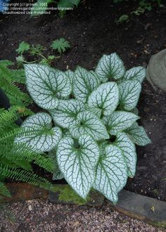 'Jack Frost' Brunnera was named 2012 plant of the year by the Perennial Plant Association.