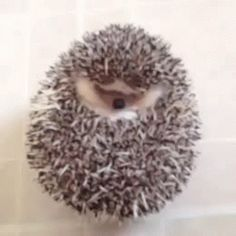 A cute little hedgehog.