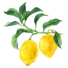 Lemon Watercolor, Watercolor Tips, Citrus Trees, Fruit Trees, Tapas, Decoupage, Front Yard Plants, Branch Vector, Tree Base