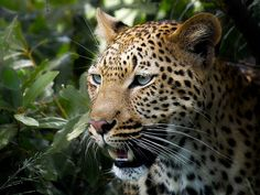 Leopard (panthera pardus) by Arno Meintjes Wildlife, via Flickr