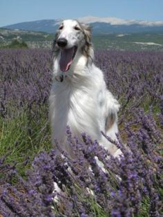 Borzoi in the field of flowers #dogs