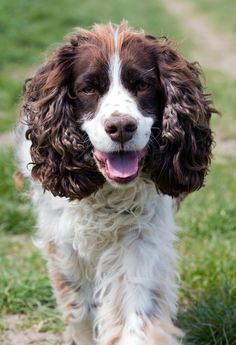 Argan oil for dogs. Here's who to make your own dog coat conditioner with this luxurious Moroccan oil. Mutt Dog, Dog Paws, English Springer Spaniel, Dangerous Dogs, Oils For Dogs, Spaniel Dog, Spaniels, Dog Crate, Little Dogs