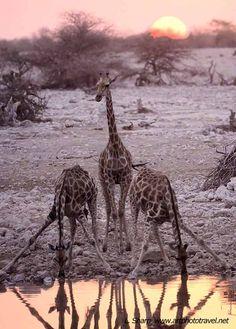 giraffes at sunset Okaukuejo waterhole etosha namibia