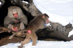 The Monkeys eating snow