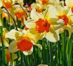 Benih Bibit Bunga Daffodil Orange Kekuningan / Bunga Bakung