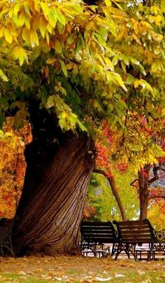 Beautiful fall tree in the park ! Love how the trunk twists !
