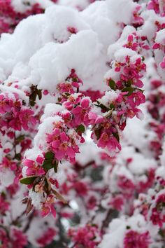 Spring time in Colorado – Winterbilder Rose Flower Wallpaper, Love Wallpaper, Nature Wallpaper, Wallpaper Backgrounds, Flower Lockscreen, Plum Paint, I Love Winter, Winter Wonder, Pink Snow