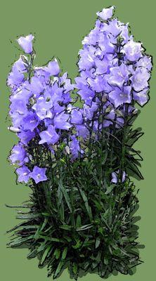 Campanula pericifolia 'Coerulea' Puzzle, Plants, Puzzles, Riddles, Planters, Jigsaw Puzzles, Plant, Planting