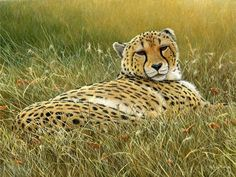 laid back cheetah by Jeremy Paul
