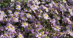Aster JS® 'Eleven Purple' PBR op vasteplant.be