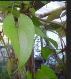 2 DIOSCOREA ALATA Live Plants aka Purple yam, Ube, Philippine Ubi by SheilasTropicals on Etsy