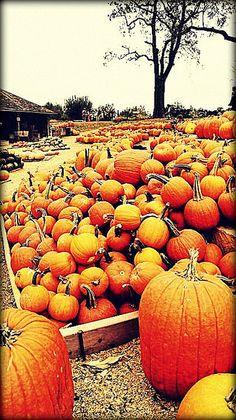Pumpkins @ Red Barn Farm Weston,Mo.