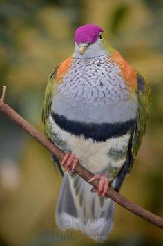 (Colourful) Fruit dove! Colorful Fruit, Birds, Photography, Animals, Photograph, Animales, Animaux, Fotografie, Bird