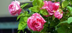 Si quieres tener más rosas en tu jardín, usa este método para propagar tus plantas fácilmente.