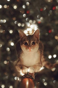 Christmas Kitty Print for Sale on Etsy. Cat in front of Christmas tree on balcony with christmas lights with christmas bokeh background. Photo by Christian Zajicek Photography for PrintsByPapa