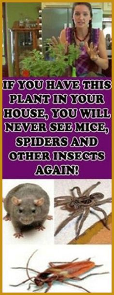 If You Have This Plant in Your House, You Will Never See Mice, Spiders and Other Insects Again! Medicine Book, Herbal Medicine, Natural Medicine, Holistic Medicine, Health And Fitness Articles, Health And Nutrition, Fitness Tips, Health Facts, Health Fitness