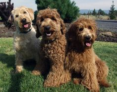 Labradoodles were originally a cross between the Labrador Retriever and the Standard Poodle, now they are a breed of their own! Can't wait to get mine.