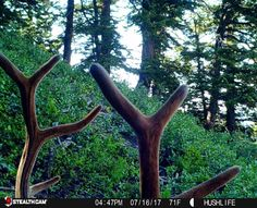 There's not many hunts that allow you to hunt velvet #bullelk but if you could, would you? #trailcamtuesday #hushlife #stealthcam #elk #hunting #scouting