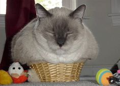 Cats think they can fit in any box or basket- no matter the size! LOL!