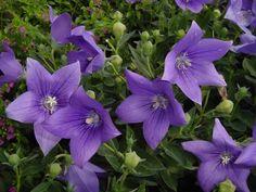 Platycodon or Balloon Flower: Bluest ofBlue. - Journal - Garden Design, Perennial Flower Gardening, Gardening Tips, Gardening Advice, Gardening Book Reviews