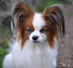 I've wanted a Papillon since I was 7 years old. They are too freaking cute! I'll adopt one, one day.