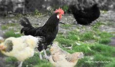 Galli e galline... Rooster, Animals, Animales, Animaux, Animal, Animais, Chicken
